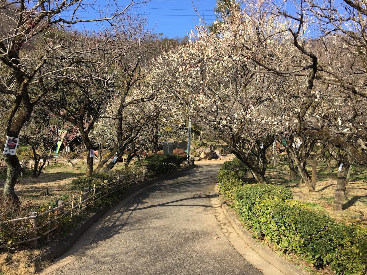 岐阜梅林公園で梅の花を楽しむ